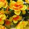 азалия цвета желтый 1