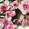 азалия цвета белый с розовым 19
