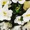 азалия цвета белый 6