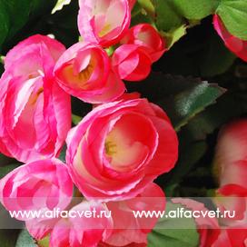 бегонии цвета розовый 5