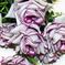 букет роз цвета малиновый с белым 37