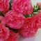 гвоздики цвета малиновый 11