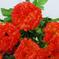 гвоздики цвета красный 4