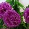 гвоздики цвета фиолетовый 7