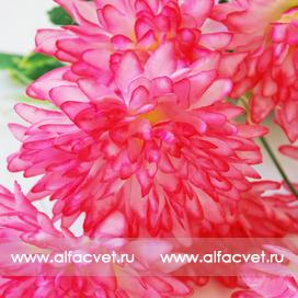 хризантемы цвета малиновый 11