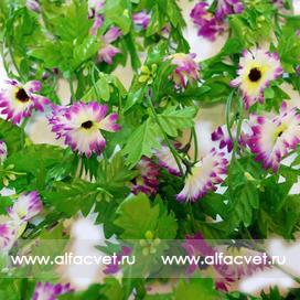 куст ромашек цвета фиолетовый с белым 15