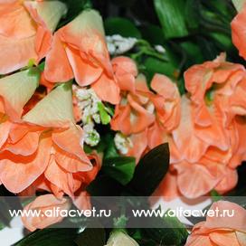 лилия висячая цвета оранжевый с белым 16