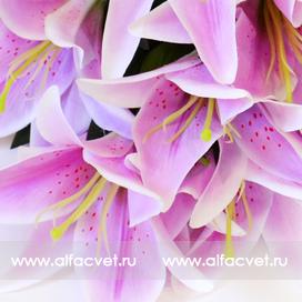 лилии цвета фиолетовый с белым 15