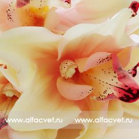 орхидеи цвета чайный 3