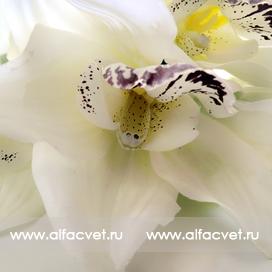 орхидеи цвета белый 6