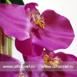 букет орхидеи цвета фиолетовый 7