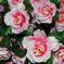 искусственные цветы розы цвета желтый с розовым 18