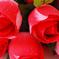 искусственные цветы розы с каплями цвета красный 4