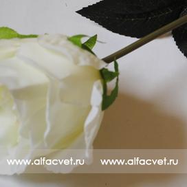 роза цвета белый 6