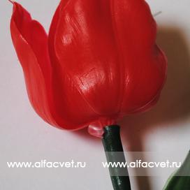тюльпан цвета красный 4
